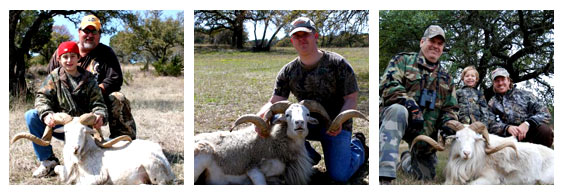 we have affordable dall sheep